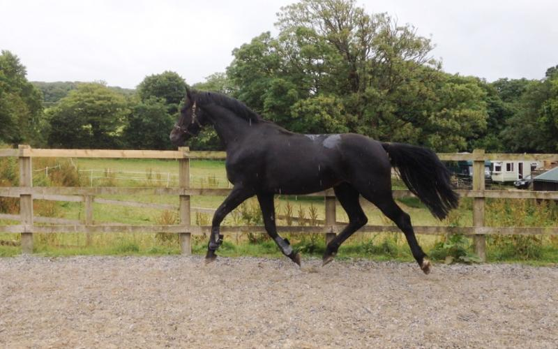QUALITY WELL BRED FOAL - JUMPING / EVENTING