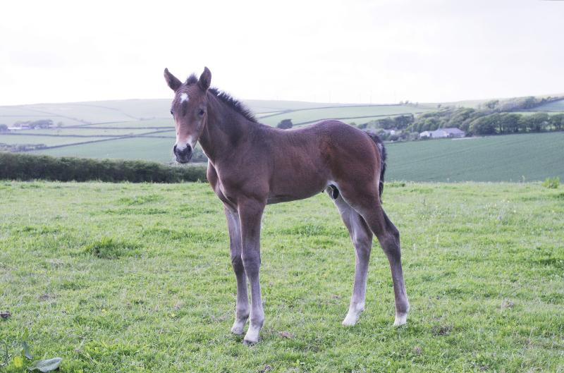 GORGEOUS QUALITY DARK BAY COLT - JUMPING / EVENTING