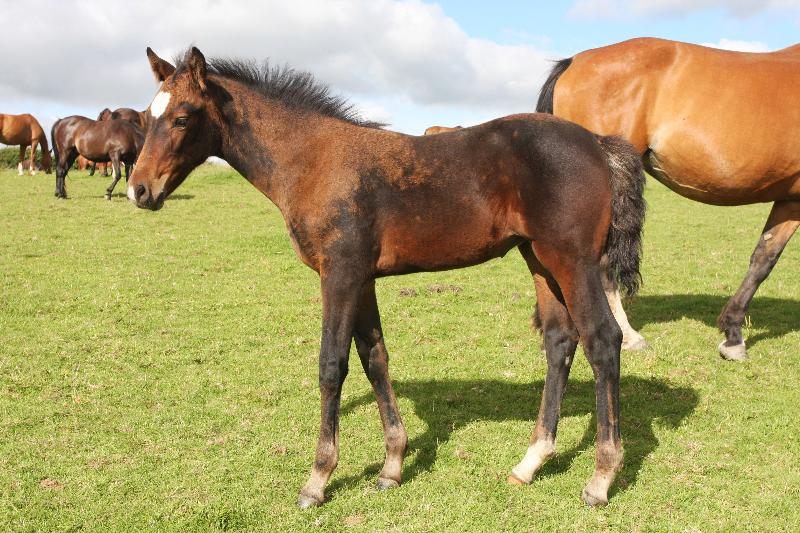 Stunning Bay Filly to make 16.2  by Filesco (Boss VDL x Phin Phin x Calvados) x Paco (Kojak) x Hinault