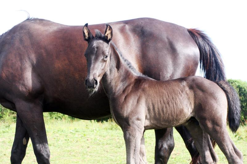 Smart Black Colt to make 16.1/2 by Filesco (Boss VDL x Phin Phin x Calvados) x VDL Natal x Caretino