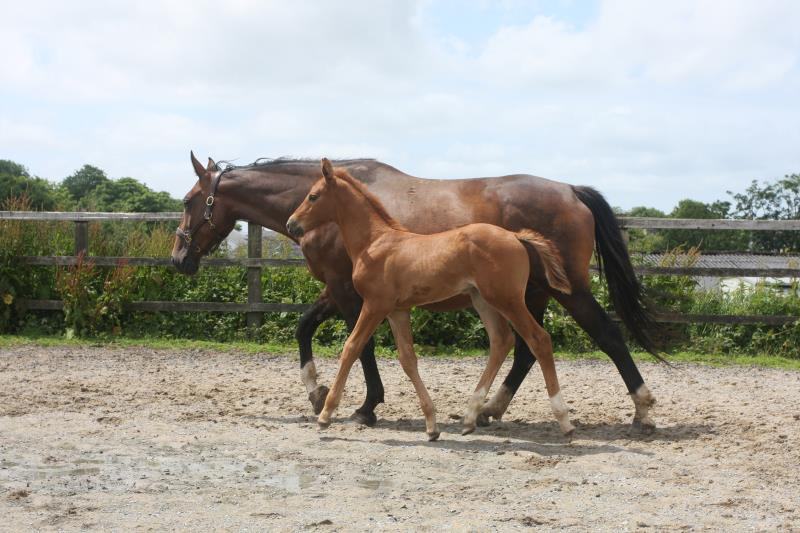 Foal by Condor (Caretino x Capitol I) x Zigzag (Concorde) x Shaab